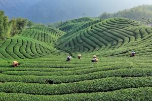 Tee-Plantage auf Taiwan