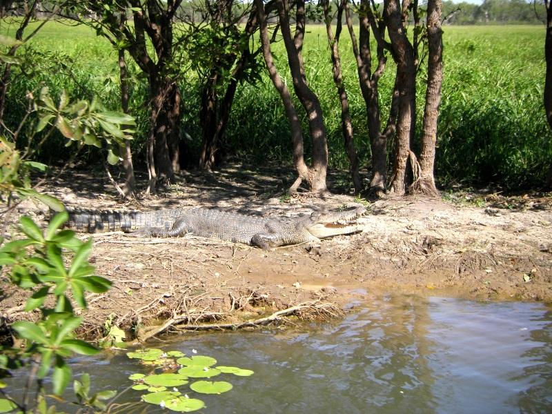 Krokodil bei Daintree River