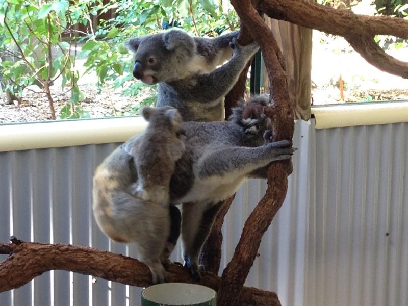 koalas-cairns-zoo