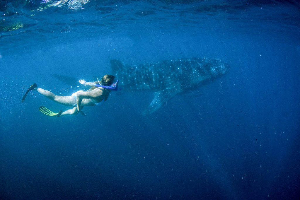 schwimmen mit walhai