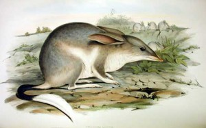 australisches easter-bilby