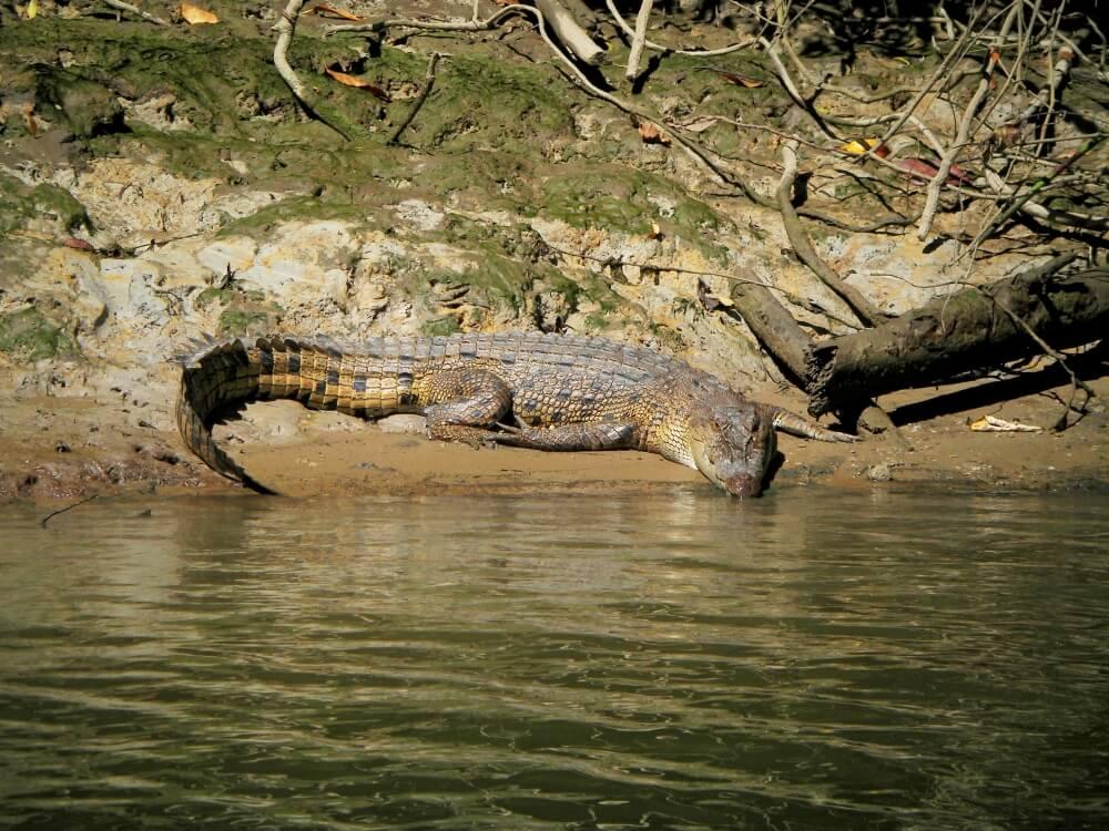 australisches Krokodil