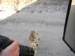 Dingo auf Fraser Island