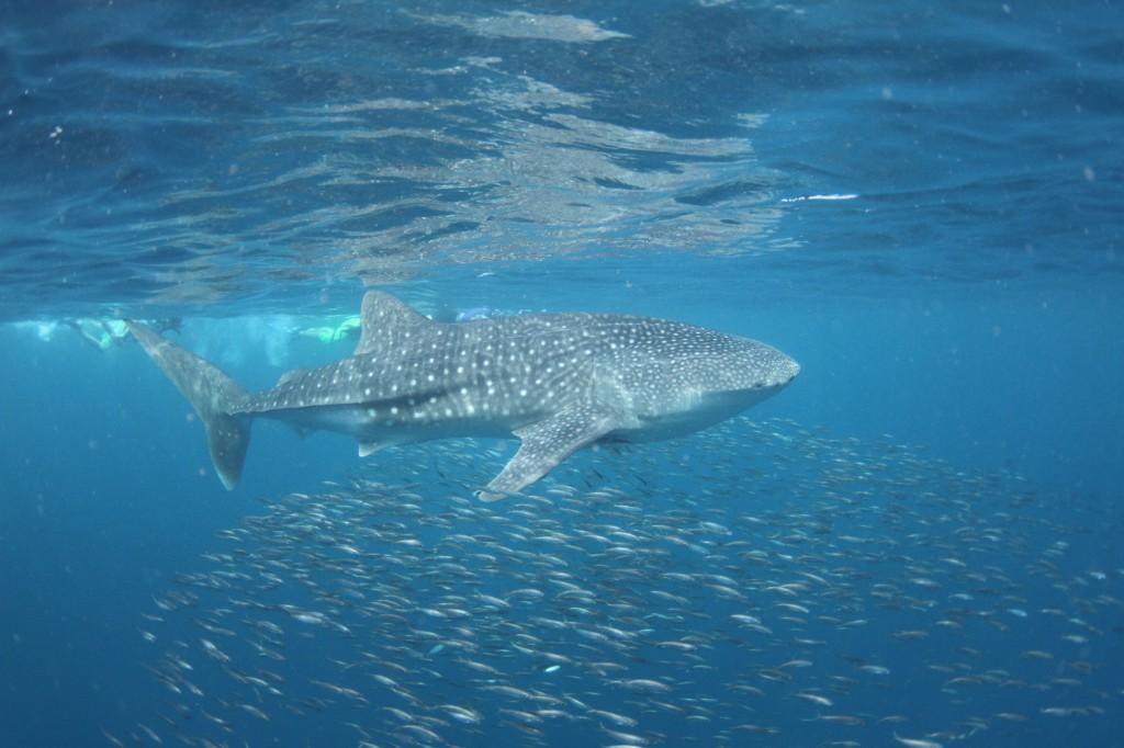 australischer Walhai