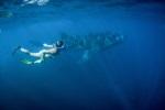 Schwimmen mit dem Walhai – am Ningaloo Reef