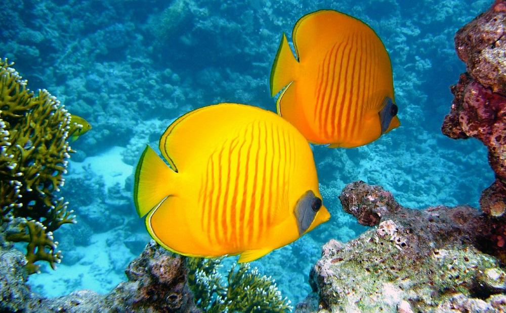 fisch am great barrier reef