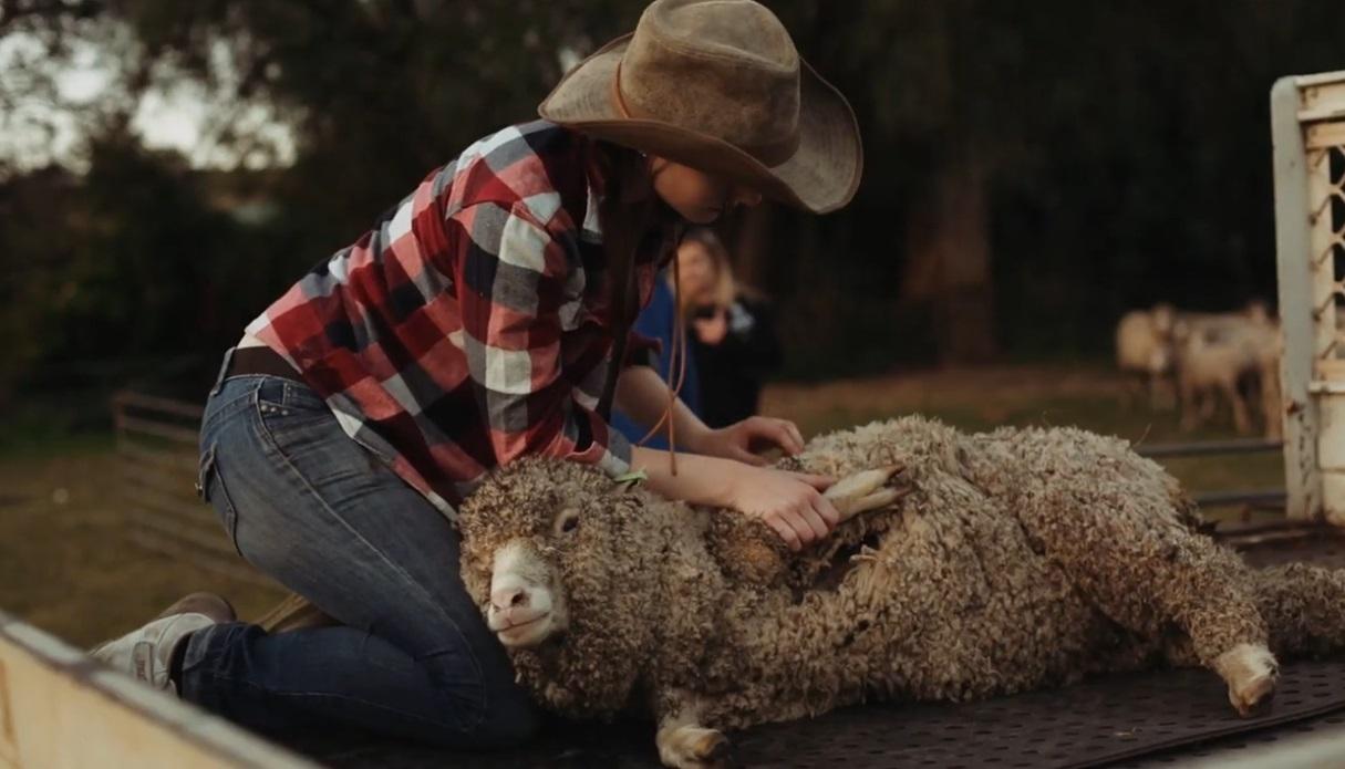 Schaf scheren auf Farm