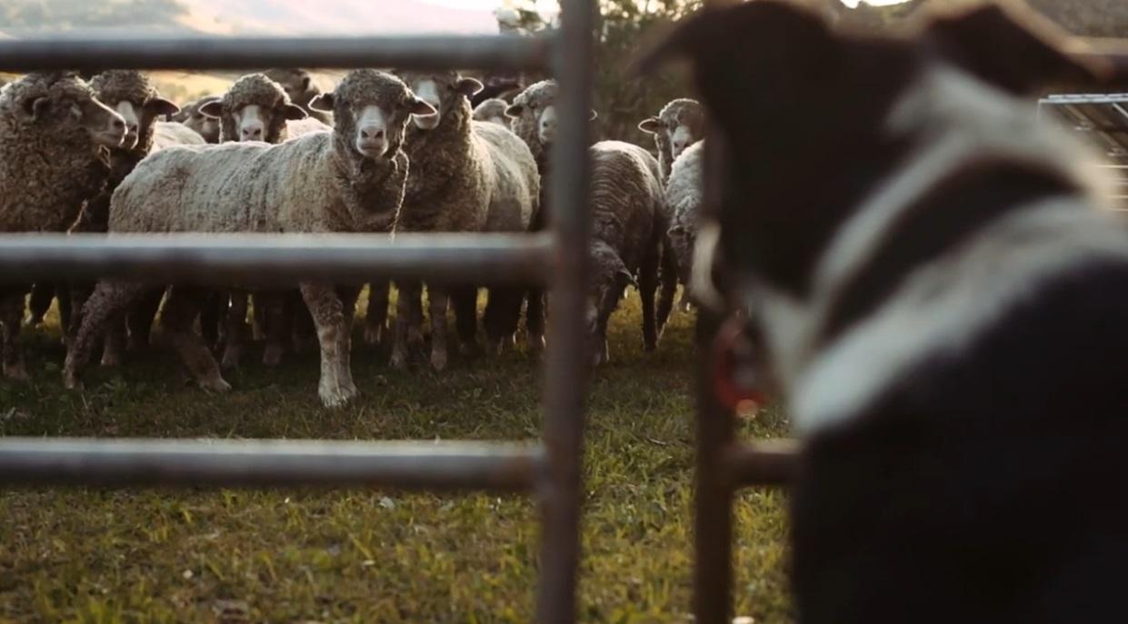 Schafe mit Hund