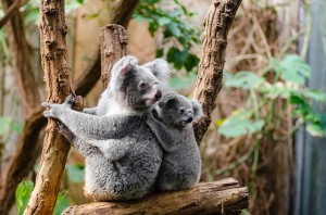australischer Koala